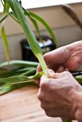 trim green garlic